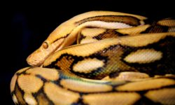 reticulated-python-facts