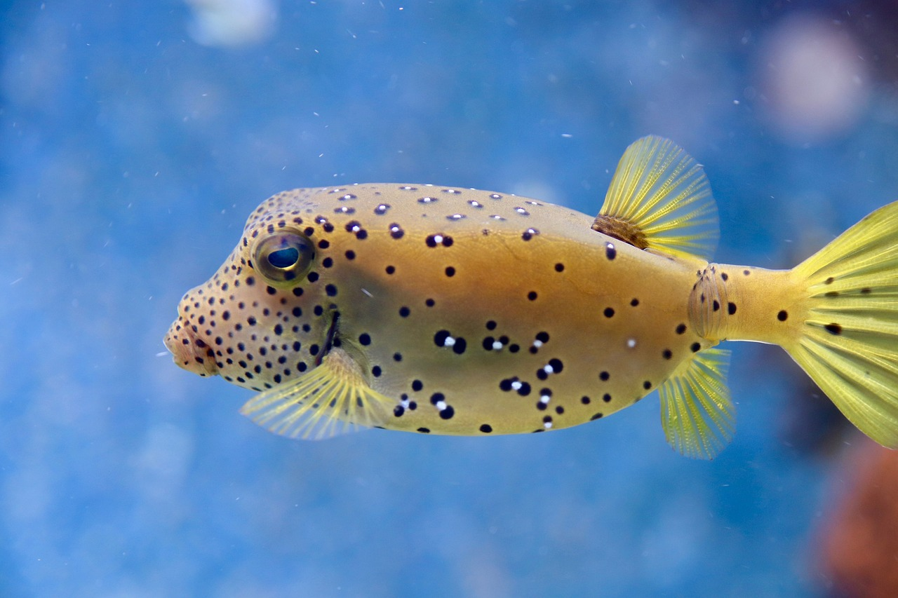 puffer-fish-facts-stats