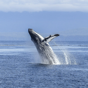 humpback-whale-facts-stats